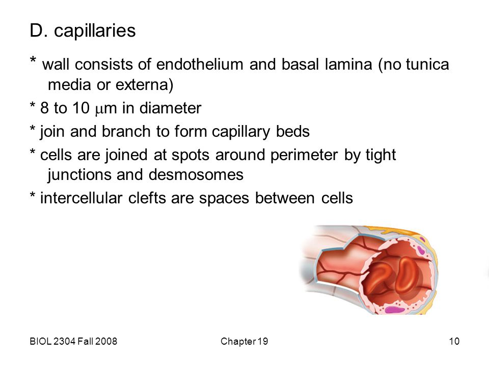D. capillaries * wall consists of endothelium and basal lamina (no tunica media or externa) * 8 to 10 mm in diameter.