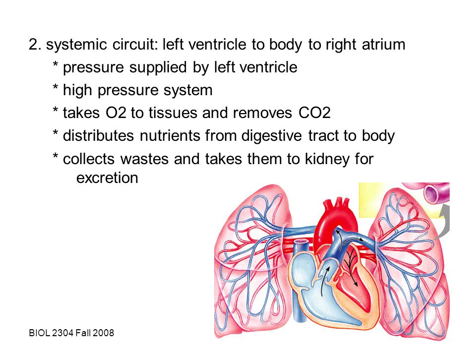 2. systemic circuit: left ventricle to body to right atrium