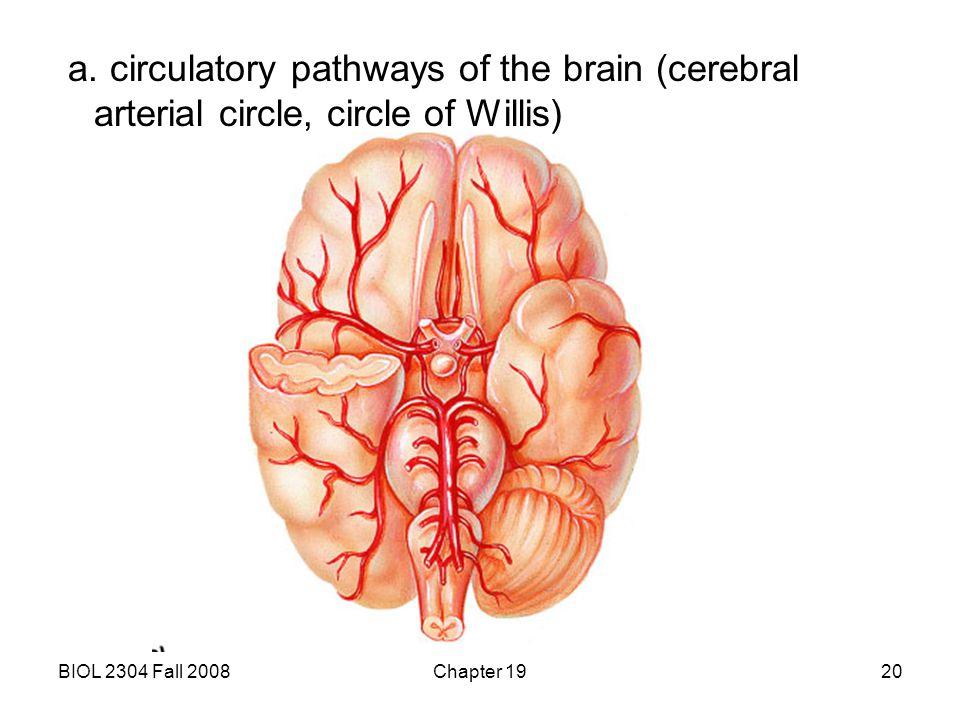 a. circulatory pathways of the brain (cerebral arterial circle, circle of Willis)