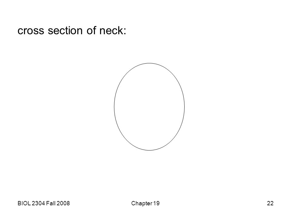 cross section of neck: BIOL 2304 Fall 2008 Chapter 19
