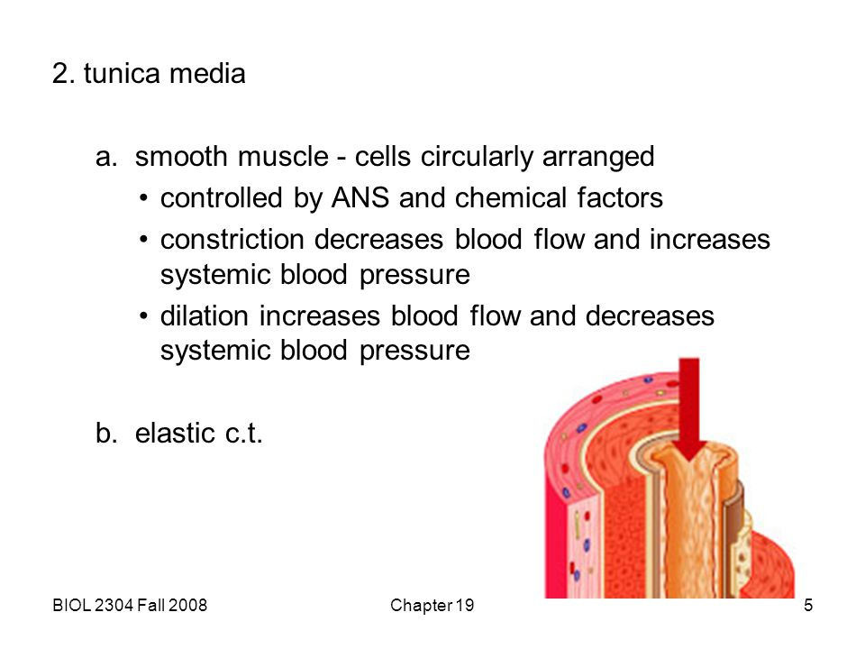 a. smooth muscle - cells circularly arranged