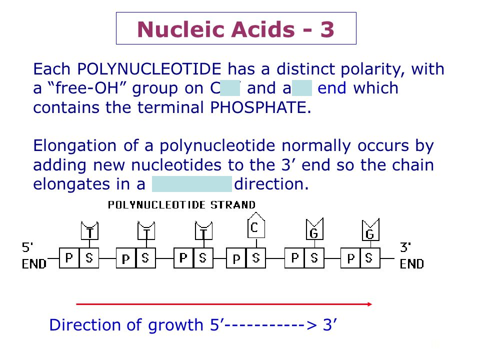 Nucleic Acids - 3 Each POLYNUCLEOTIDE has a distinct polarity, with a free-OH group on C 3' and a 5' end which contains the terminal PHOSPHATE.