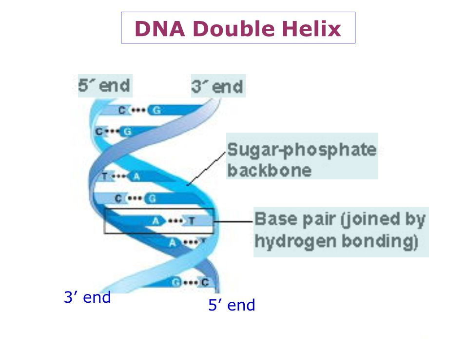 DNA Double Helix 3' end 5' end 14