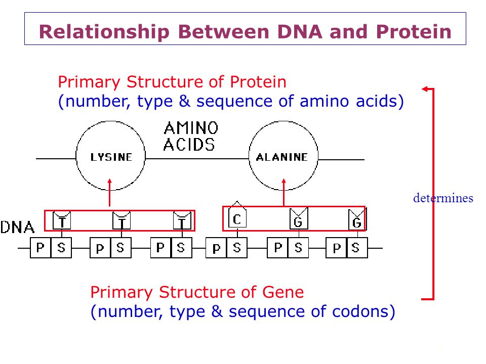 Relationship Between DNA and Protein