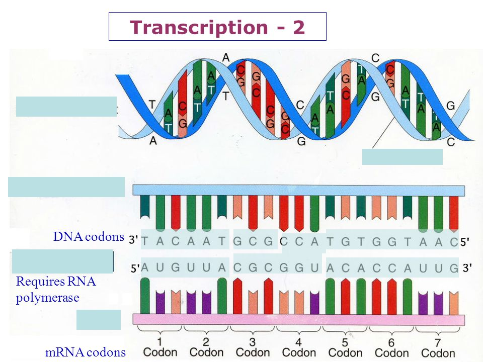 Transcription - 2 DNA codons Requires RNA polymerase mRNA codons 14