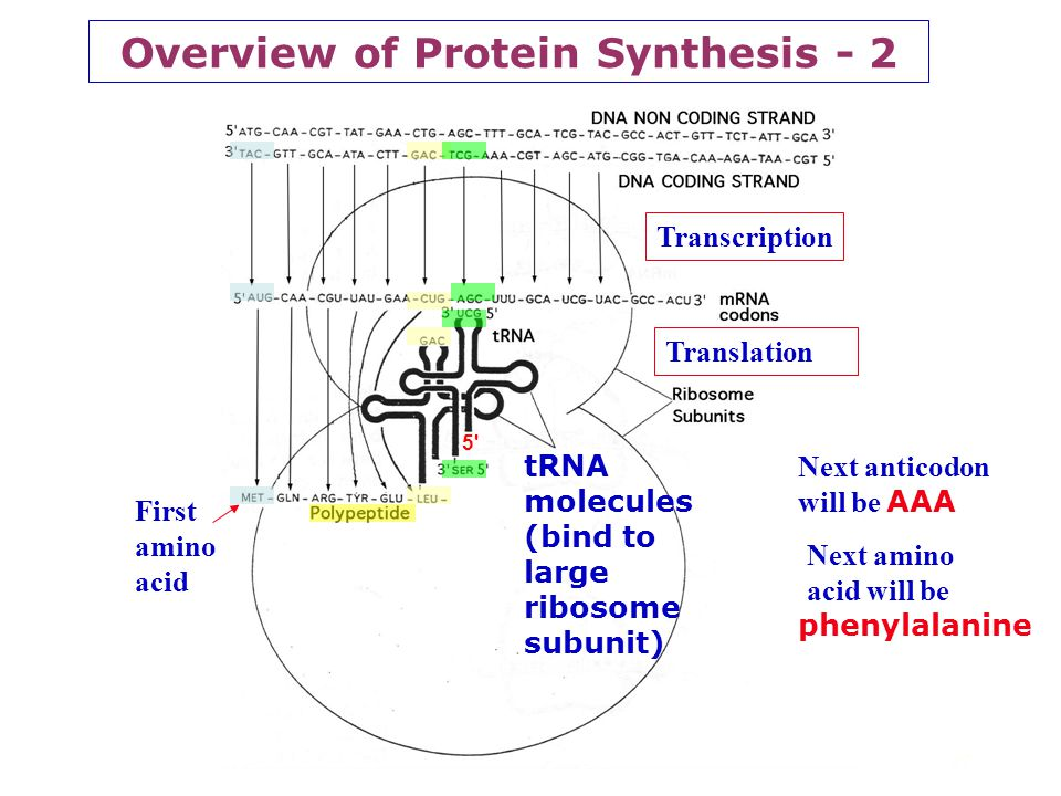Overview of Protein Synthesis - 2