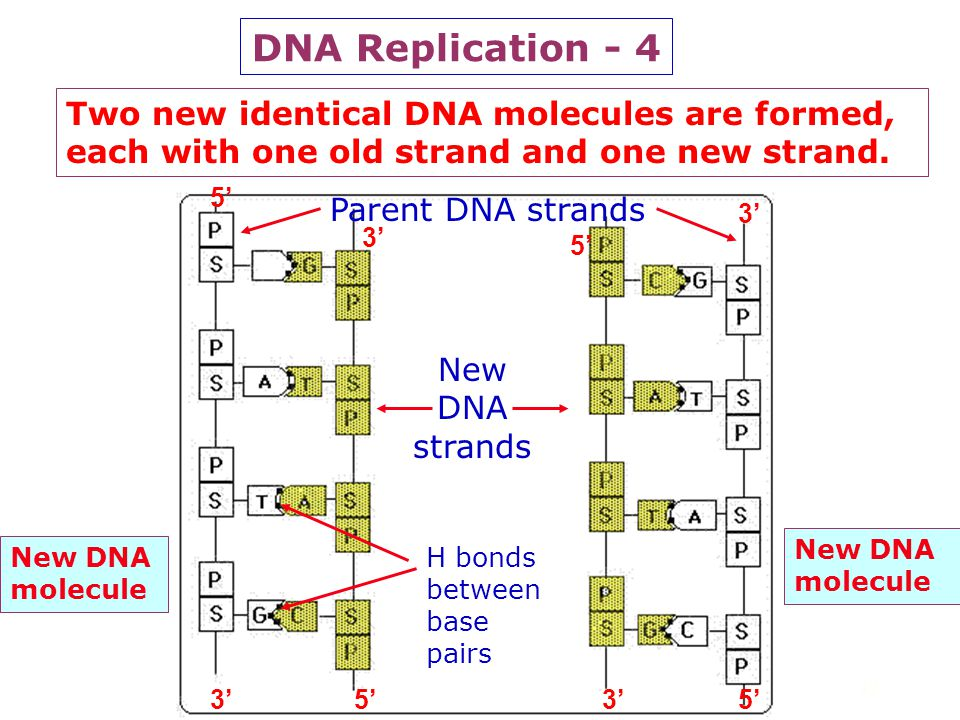 DNA Replication - 4 Two new identical DNA molecules are formed, each with one old strand and one new strand.