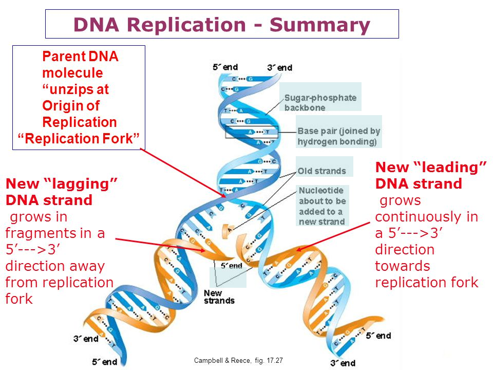 DNA Replication - Summary