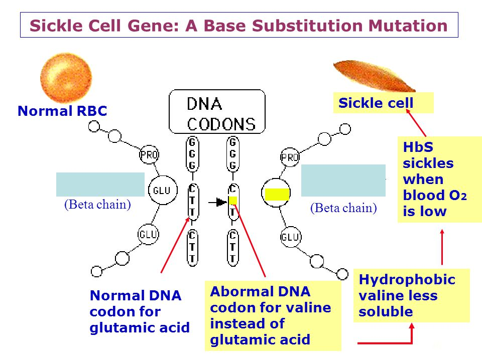 Sickle Cell Gene: A Base Substitution Mutation