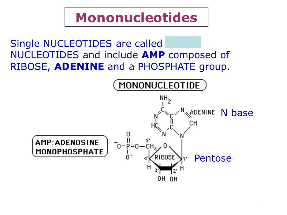 Mononucleotides Single NUCLEOTIDES are called MONO NUCLEOTIDES and include AMP composed of RIBOSE, ADENINE and a PHOSPHATE group.