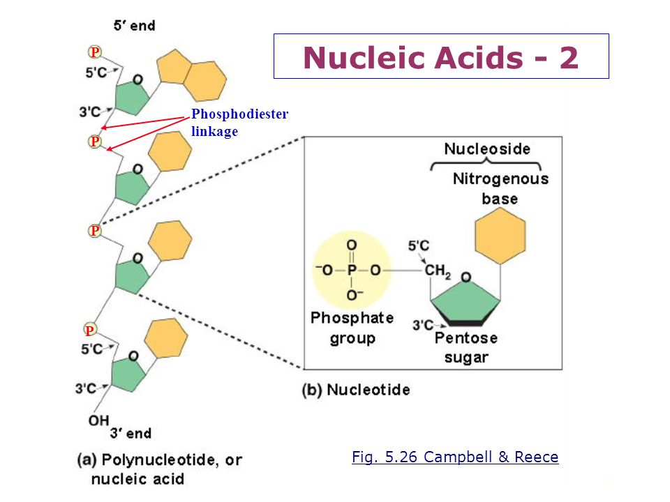 Nucleic Acids - 2 P Phosphodiester linkage P P P