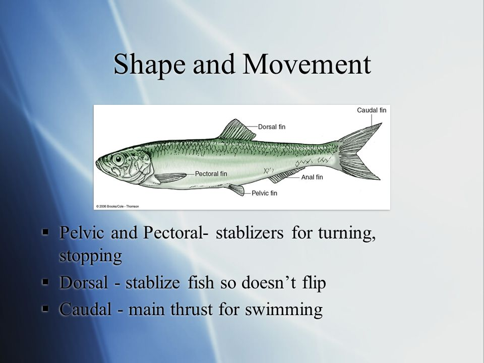 Shape and Movement Pelvic and Pectoral- stablizers for turning, stopping. Dorsal - stablize fish so doesn't flip.