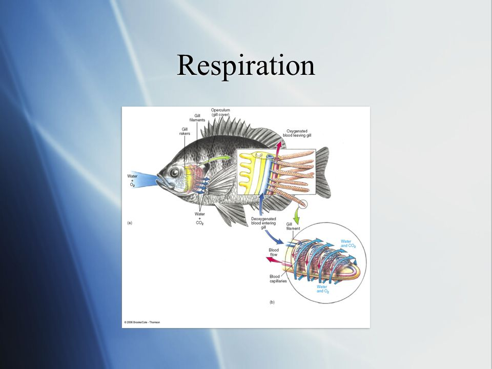 Respiration Blood flows in the opposite direction from water, can exchange gases the whole length of the blood vessel,