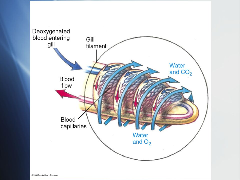 Water flows in the opposite direction from water, can exchange gases the whole length of the blood vessel