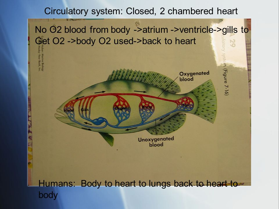 Circulatory system: Closed, 2 chambered heart
