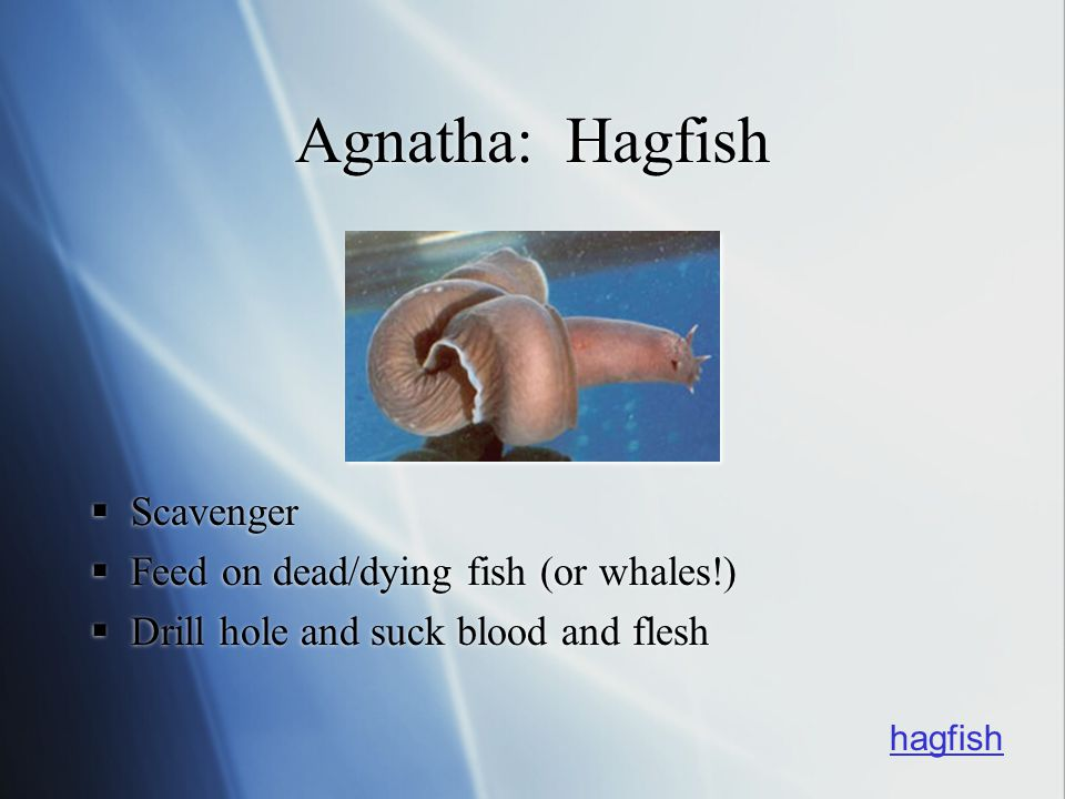 Agnatha: Hagfish Scavenger Feed on dead/dying fish (or whales!)