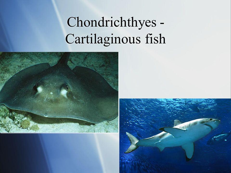 Chondrichthyes - Cartilaginous fish