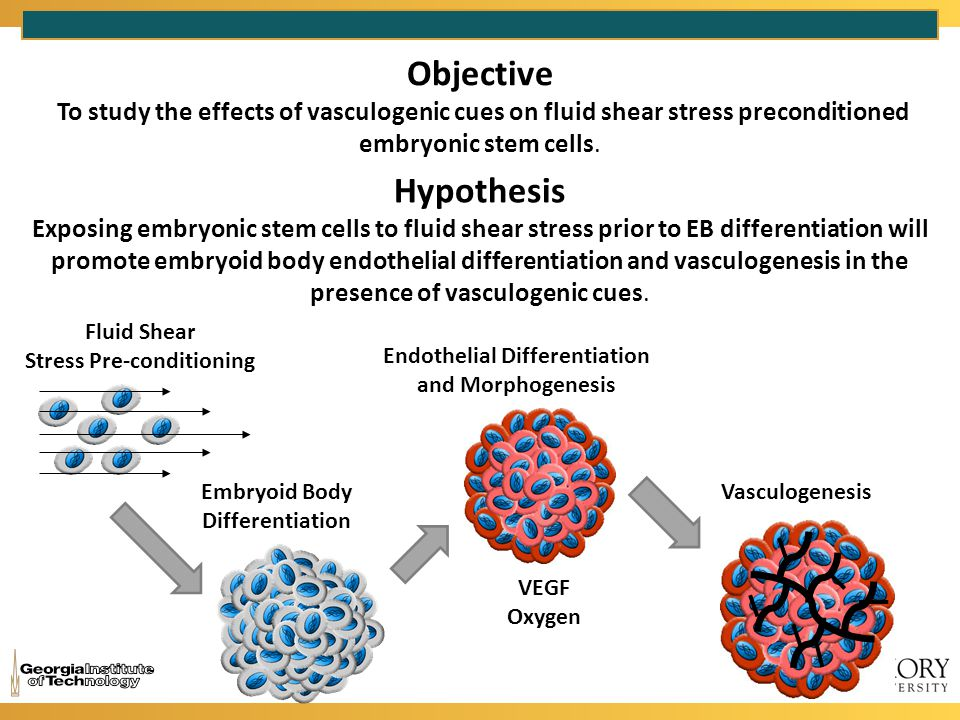 Objective To study the effects of vasculogenic cues on fluid shear stress preconditioned embryonic stem cells.