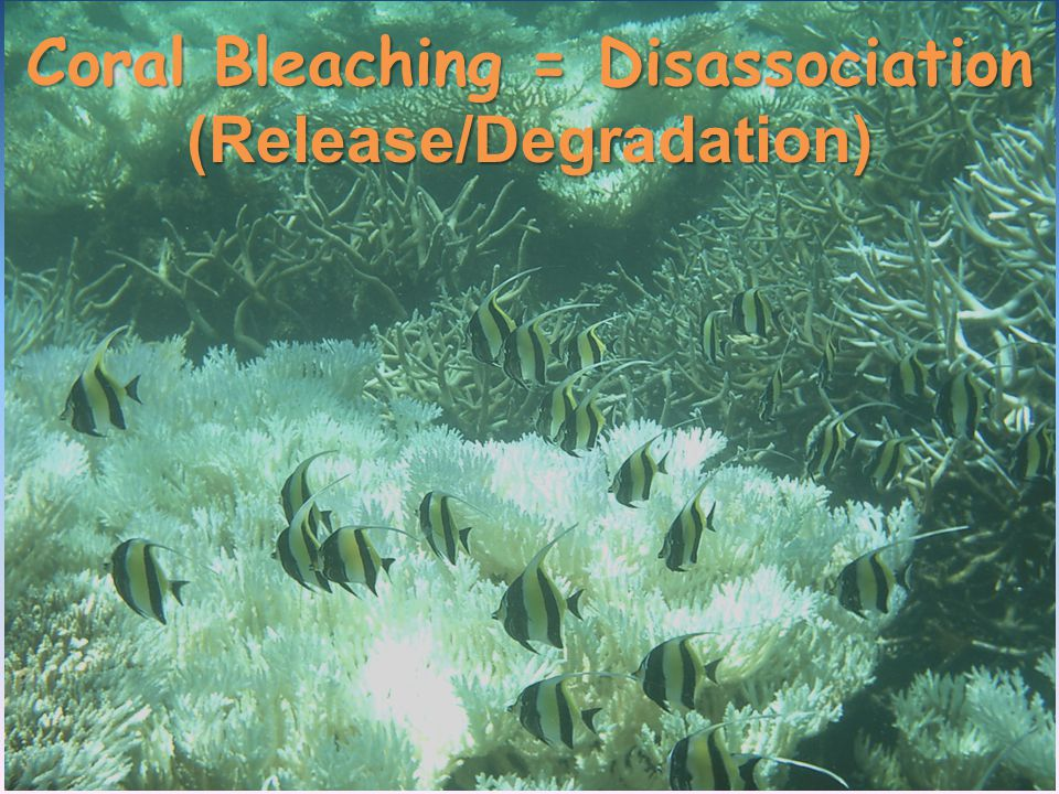 Coral Bleaching = Disassociation (Release/Degradation)