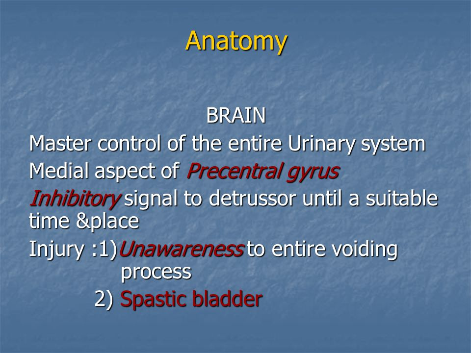 Anatomy BRAIN Master control of the entire Urinary system
