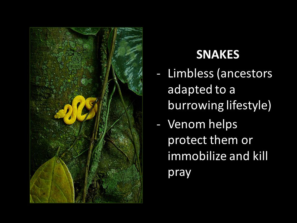 SNAKES Limbless (ancestors adapted to a burrowing lifestyle) Venom helps protect them or immobilize and kill pray.