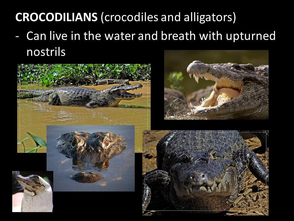 CROCODILIANS (crocodiles and alligators)