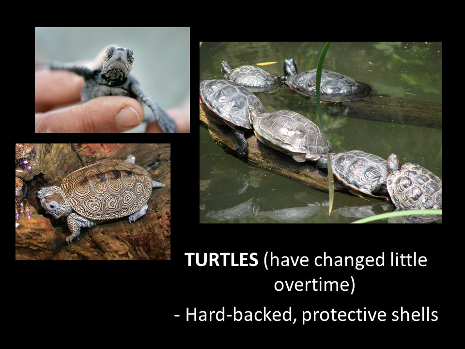 TURTLES (have changed little overtime) - Hard-backed, protective shells
