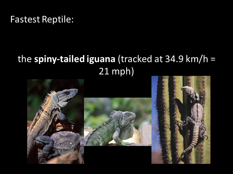the spiny-tailed iguana (tracked at 34.9 km/h = 21 mph)