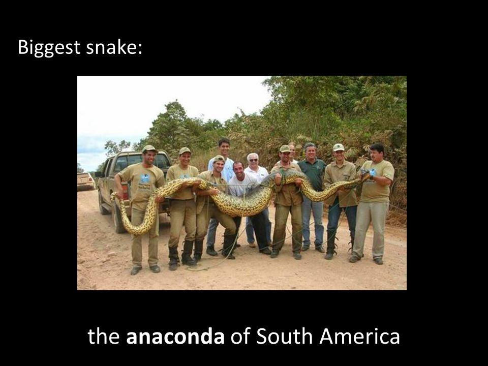 the anaconda of South America