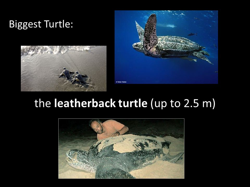 the leatherback turtle (up to 2.5 m)
