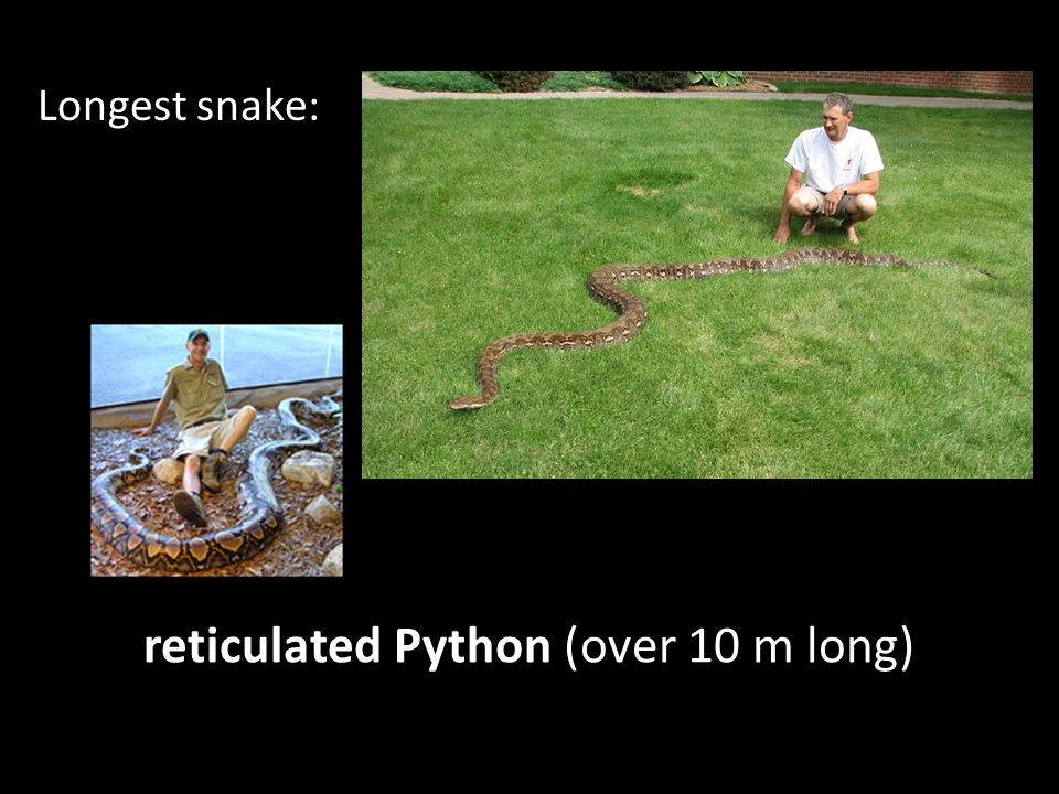 reticulated Python (over 10 m long)
