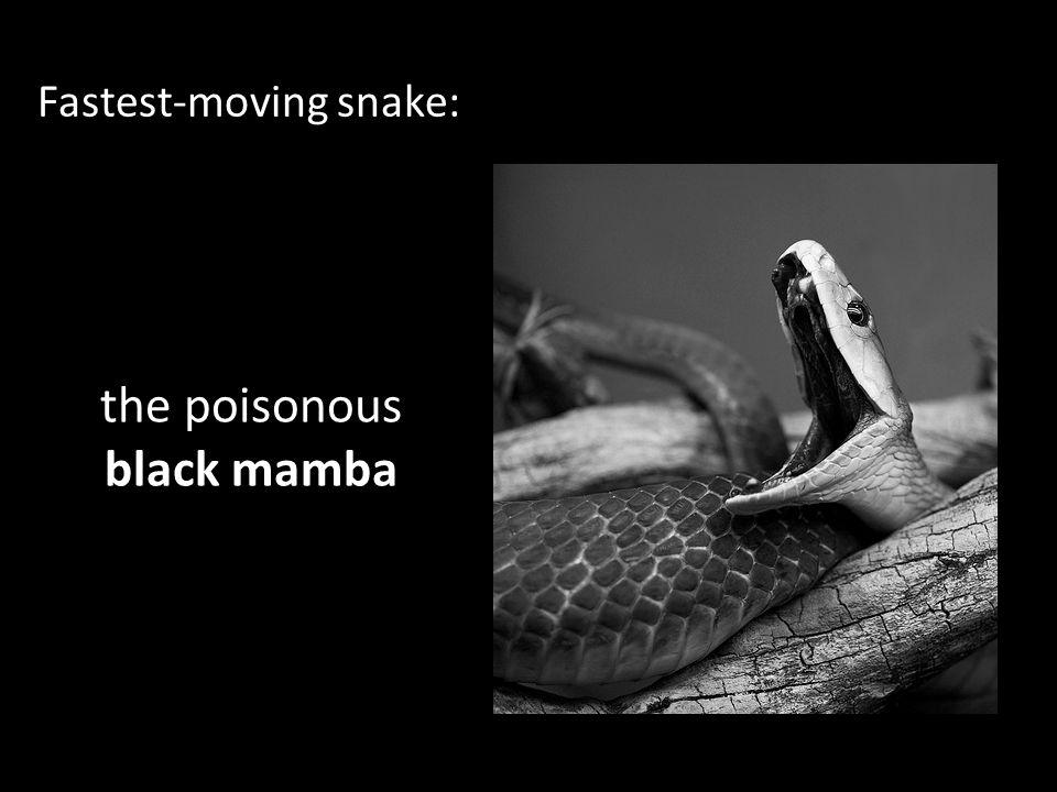 the poisonous black mamba
