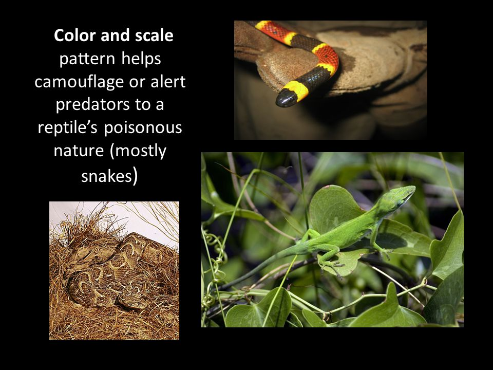 Color and scale pattern helps camouflage or alert predators to a reptile's poisonous nature (mostly snakes)