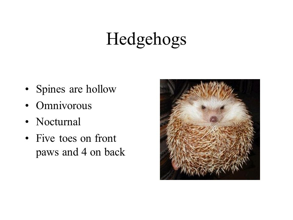 Hedgehogs Spines are hollow Omnivorous Nocturnal