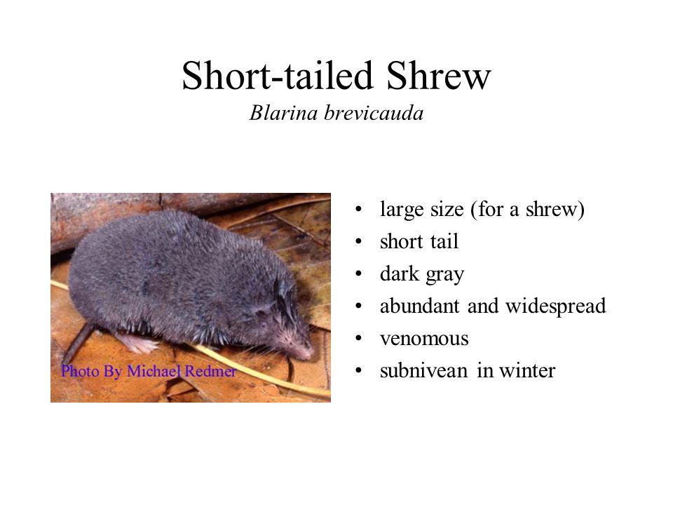 Short-tailed Shrew Blarina brevicauda