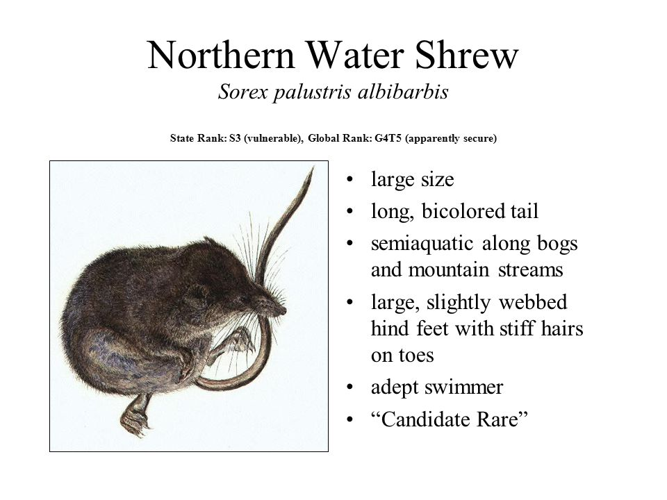 Northern Water Shrew Sorex palustris albibarbis State Rank: S3 (vulnerable), Global Rank: G4T5 (apparently secure)