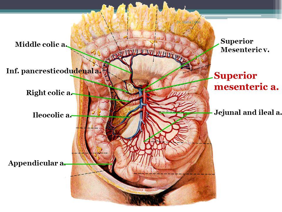 Superior mesenteric a. Superior Middle colic a. Mesenteric v.