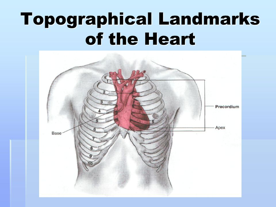 Topographical Landmarks of the Heart