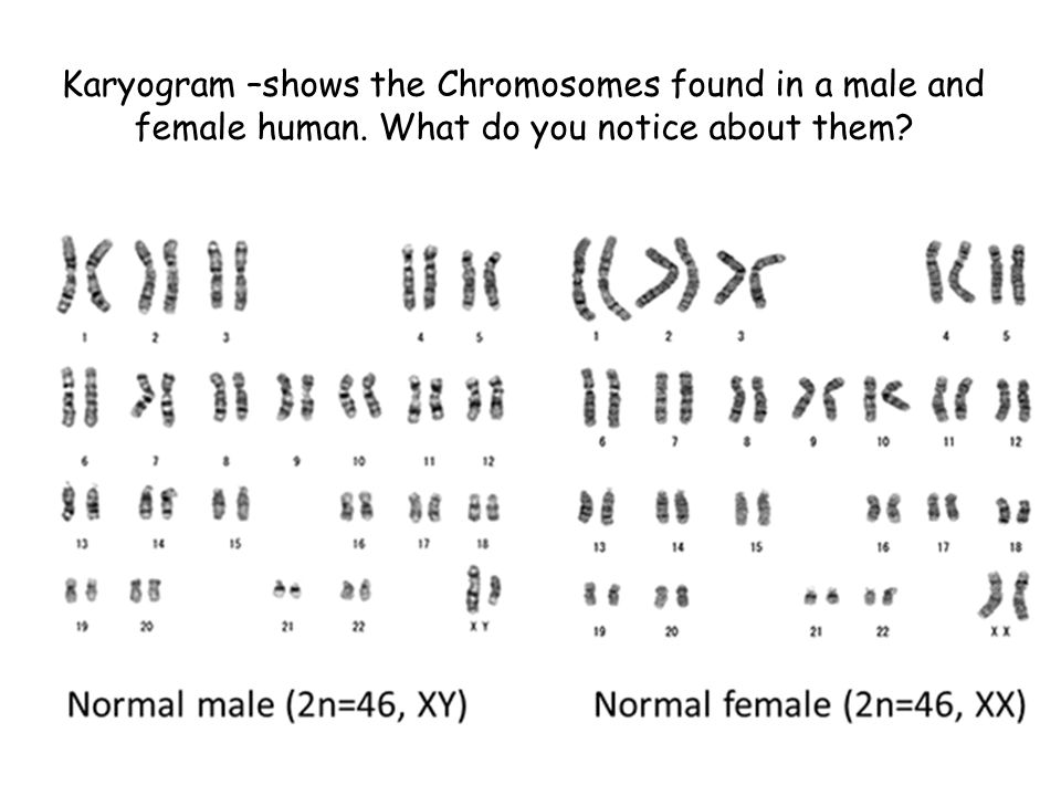 Karyogram –shows the Chromosomes found in a male and female human