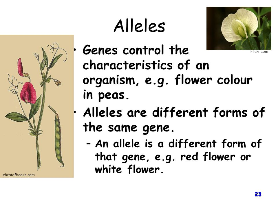 Alleles Genes control the characteristics of an organism, e.g. flower colour in peas. Alleles are different forms of the same gene.