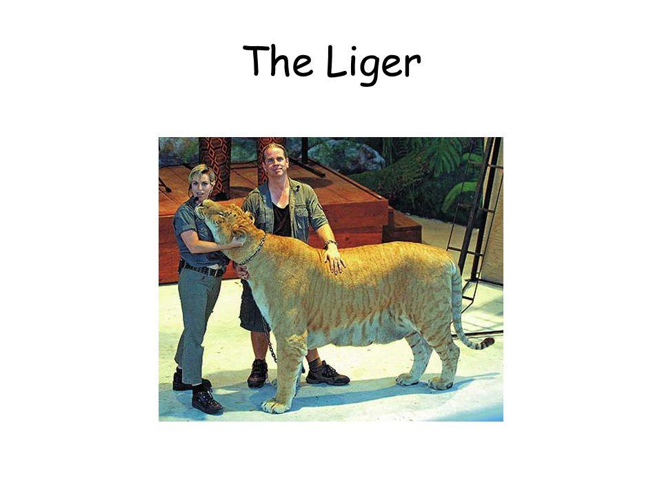 The Liger