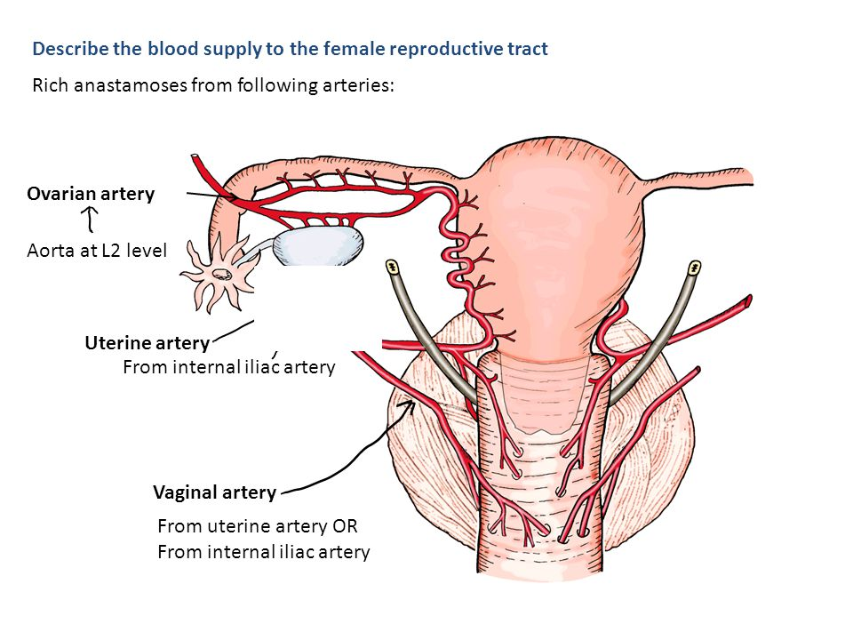 Describe the blood supply to the female reproductive tract