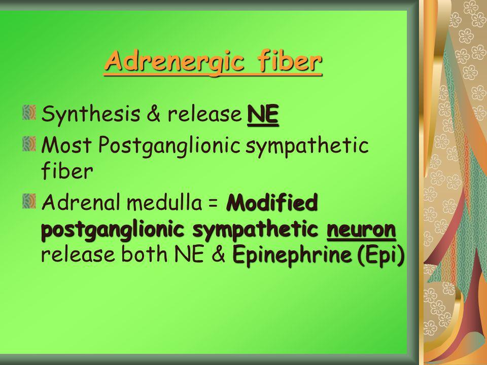 Adrenergic fiber Synthesis & release NE