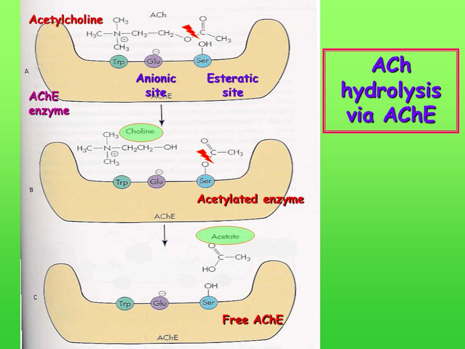 ACh hydrolysis via AChE