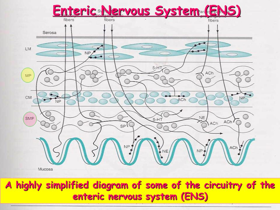 Enteric Nervous System (ENS)