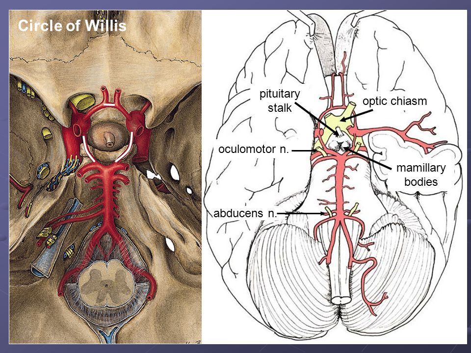 Circle of Willis pituitary stalk optic chiasm oculomotor n.