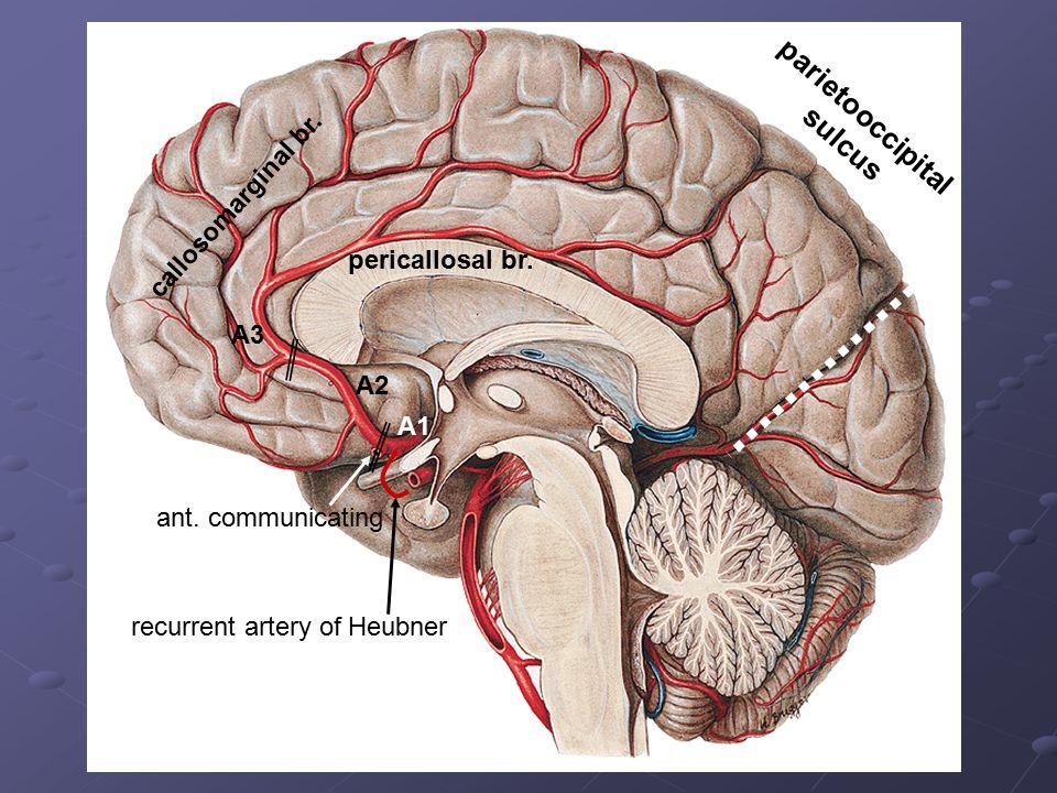 parietooccipital sulcus