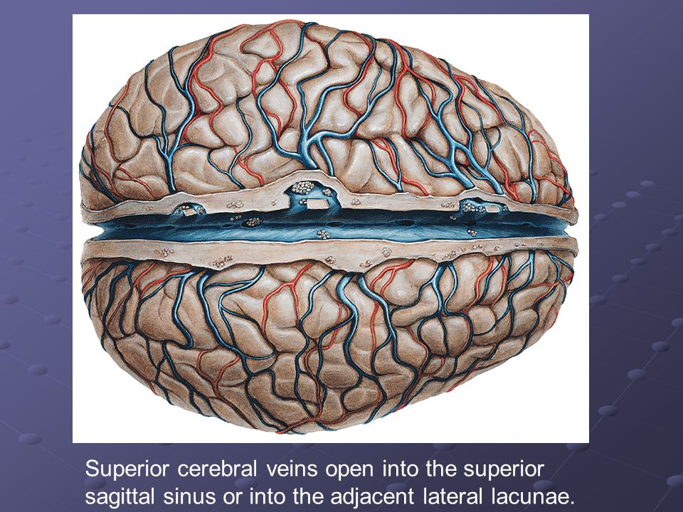 Superior cerebral veins open into the superior sagittal sinus or into the adjacent lateral lacunae.