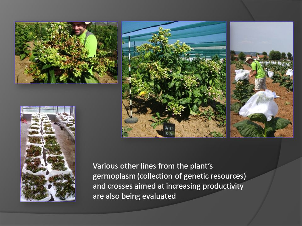 Various other lines from the plant's germoplasm (collection of genetic resources) and crosses aimed at increasing productivity are also being evaluated