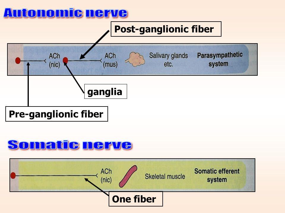 Autonomic nerve Somatic nerve Post-ganglionic fiber ganglia